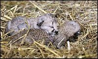 BNPS.co.uk (01202 558833)<br /> Pic: IanTurner/BNPS<br /> <br /> The cubs shortly after being born.<br /> <br /> Spot On - Pitter-patter of tiny paws as a quartet of Cheetah cubs born at Longleat.<br /> <br /> Staff at the Wiltshire safari park are celebrating a record big cat litter for miracle mum Wilma.<br /> <br /> It's extremely rare to get four cubs all surviving, even in captivity. And in the wild only 1 in 3 cubs would be expected to reach adulthood.<br /> <br /> Part of a captive breeding program, the two boys and two girls are a ray of hope for the 'Vulnerable' species whose habitat is threatened in Africa.