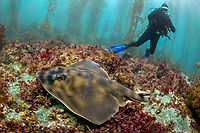Banded guitarfish, zapteryx exasperata, or striped guitarfish, swimming over the ground with a diver in the background and giant kelp, near San Benitos Islands, Baja California, Mexico, Pacific Ocean