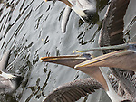 Brown Pelicans in florida begging for fish