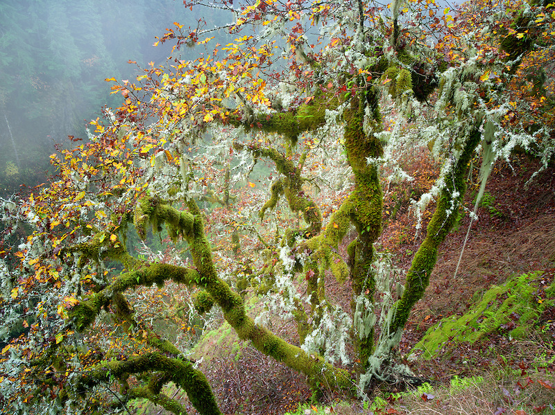 Oak trees with moss and fall color and gog. Eagle Creek Trail. Columbia River Gorge National Scenic Area, Oregon