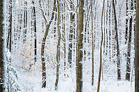 Snow laden forest trees.
