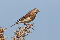 Linnet - Carduelis cannabina - female