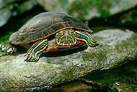 Painted turtle, Chrysemys picta, close up, Missouri USA