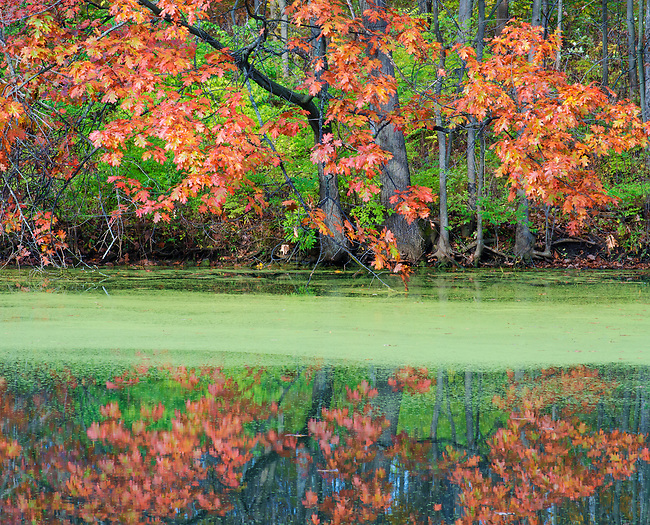 Duckweed fills the surface of Mark's Pond framed by a brilliant Maple in autumn color, Green Valley Forest Preserve, DuPage County, Illinois