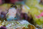 Striped blenny: Ecsenius proculis, perched on rock amongst colourful coral, Solomon Islands