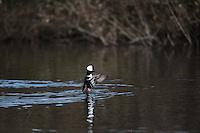Hooded Mergansers (Lophodytes cucullatus), male, Pacific Northwest