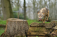 BNPS.co.uk (01202 558833)<br /> Pic: CalebHall/Longleat/BNPS<br /> <br /> A wolf stalks the camera. <br /> <br /> Longleat Safari Park has been showing the public what they've been missing during the lockdown by releasing a candid collection of pictures of their famous collection of big cats.<br /> <br /> The Wiltshire park is currently closed to the public due to COVID-19 but has been giving animal lovers an insight into the animals.<br /> <br /> They have snapped the iconic lions in a number of spots around their enclosure as well as a series of photographs of their tigers.