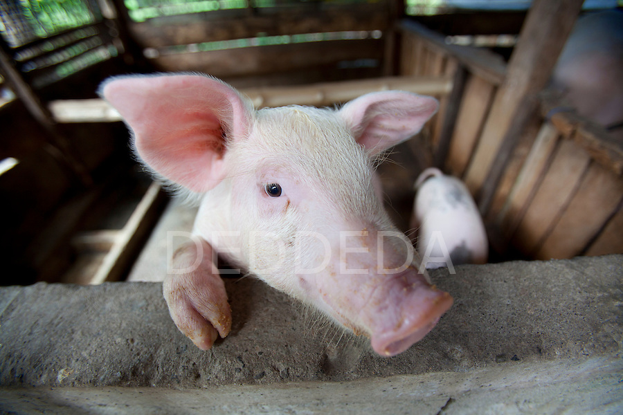 A mother pig in its pig pen near Bias City on Negros Island, Philippines.