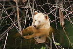 Kermode bear, Princess Royal Island, British Columbia, Canada