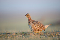 Adult male Sharp-tailed Grouse(Tympanuchus phasianellus) on a lek. Ft. Pierre National Grassland, South Dakota. April.