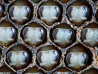 Honeybees nymphs in cells