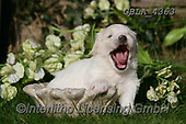 Bob, ANIMALS, REALISTISCHE TIERE, ANIMALES REALISTICOS, dogs, photos+++++,GBLA4363,#a#, EVERYDAY