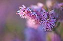 Ling Heather (Calluna vulgaris) in flower.  Peak District National Park, UK, September.