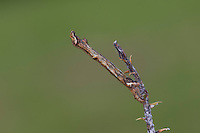 Zackenbindiger Rindenspanner, Pflaumenspanner, Raupe, Ectropis crepuscularia, Ectropis bistortata, Boarmia bistortata, Engrailed, Small Engrailed, Small Engrailed Moth, hieroglyphic moth, caterpillar, Spanner, Geometridae, looper, loopers, geometer moths, geometer moth. Tarnung, Tarntracht, Verbergetracht, Camouflage, Mimese, mimesis, Astmimese, Ästchenmimese, Ast-Mimese