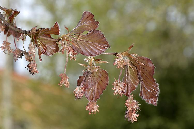 Copper Beech - Fagus sylvatica'Atropunicea' (Purpurea)