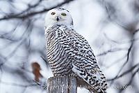 snowy owl, Upper Peninsula of Michigan snowy owl, upper peninsula of michigan