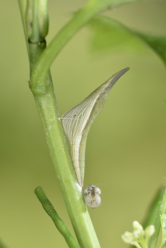 Orange-tip - Anthocharis cardamines<br /> pupa