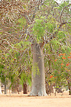 Baobab Tree, Adansonia za, Ifaty, Madagascar, Near Threatened on the IUCN Red List,