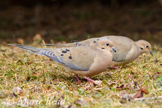 Mourning Dove (Zenaida macroura), pair foraging together, male in front, early spring, New York, USA