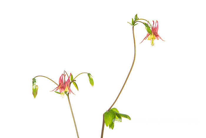 30099-00713 Wild Columbine (Aquilegia canadensis) (high key white background) Marion Co. IL