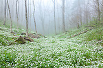 Fringed Phacelia (Phacelia fimbriata), Great Smoky Mountains National Park, North Carolina, USA