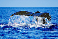 humpback whale, Megaptera novaeangliae, fluke-up dive, Hawaii, USA, Pacific Ocean