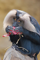 Germany, DEU, Muenster, 2007Jun05: A lion-tailed macaque (Macaca silenus) in the Muenster zoo eating an onion.