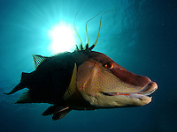 hogfish, hog snapper