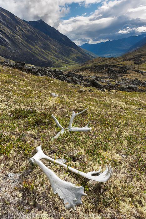 Bull caribou antlers, Brooks Range, Gates of the Arctic National Park, Alaska