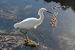 snowy egret in tidepool in Santa Barbara