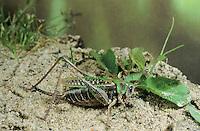 Warzenbeißer, Warzenbeisser, Weibchen mit langem Legebohrer, Decticus verrucivorus, wart-biter, wart-biter bushcricket, female