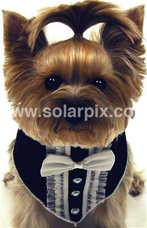 **ALL ROUND PICTURES FROM SOLARPIX.COM**                                             **NO UK NEWSPAPER PUBLICATION**.**UK MAGAZINE & SUPPLEMENT PUBLICATION ONLY** AND NO PUBLICATION IN AUSTRALIA, BELGIUM, FRANCE, GERMANY, ITALY, SCANDINAVIA AND USA**                                                                                  If you're dog has a formal event to attend this Christmas then  Doggie Vogue has the ideal accessory...The US dog fashion outlet is currently selling neckwear for dogs. Included in the collection are bow ties, Tuxedo scarves, neck scrunchies and shirt collars with crystal applique detachable ties.                                                                                                                                                                JOB REF:    12563    SFE       DATE:    05.12.10                                                        **MUST CREDIT SOLARPIX.COM OR DOUBLE FEE WILL BE CHARGED**                                                                      **MUST AGREE FEE BEFORE ONLINE USAGE**                               **CALL US ON: +34 952 811 768 or LOW RATE FROM UK 0844 617 7637**