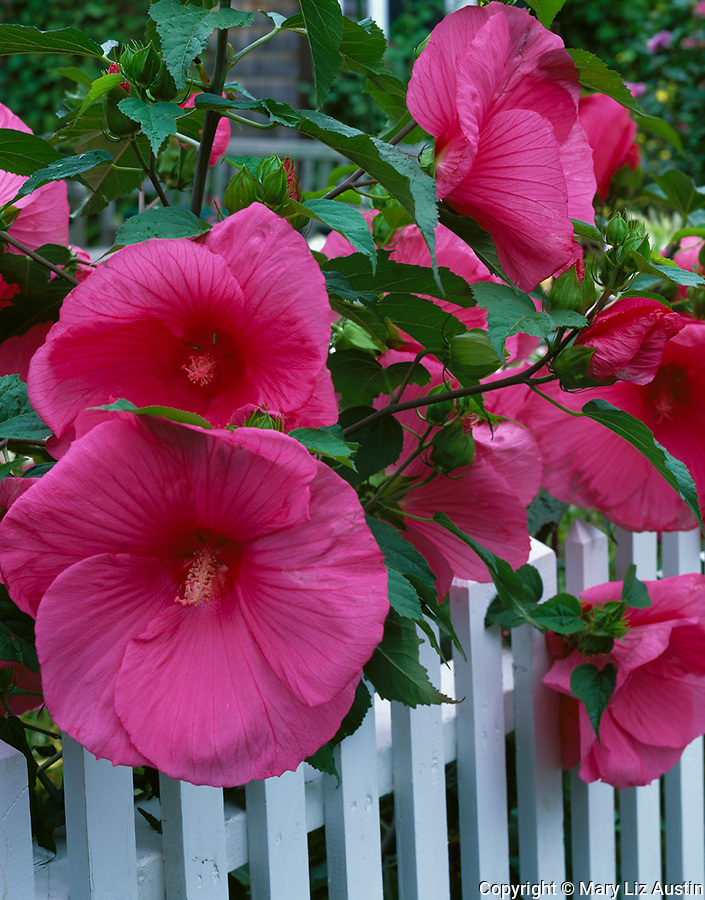 Cape Cod National Seashore, MA <br /> Rose colored hibiscus (Hibiscus moscheutos) drapes over white picket fence in Provincetown