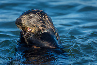 Southern Sea Otter (Enhydra lutris nereis) feeding on some type of marine invertebrate.  Monterey Bay, CA.