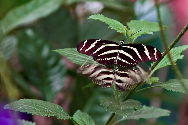 The state butterfly of Florida, a Zebra Longwing, centered, sitting on a branch of a green vine with a unique phenomenon of another Zebra Longing rapidly approaching seen as a blurred sworls of white and brown stripes. PS: Not sure why or how this occurred - but interesting photo!