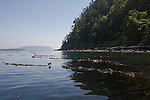 San Juan Islands, Orcas Island, Rosario Strait, Salish Sea, Bull Kelp, Nereocystis luetkeana, kelp streaming in tidal current, Old growth Conifer forest,