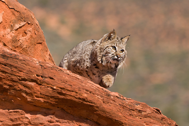 Bobcat walking over the top of a red rock - CA