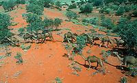 Wild Camels in the Simpson desert of Australia