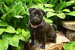 Pug dog outdoors with hosta