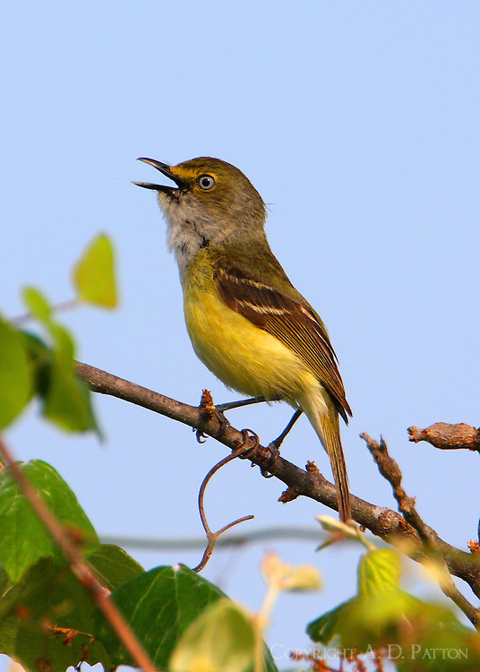 Adult white-eyed vireo singing