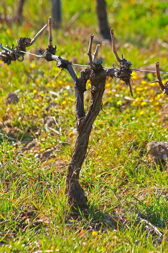 Vine in the vineyard. Château Barbanau and Clos Val-Bruyere Cassis Cote d'Azur Var France