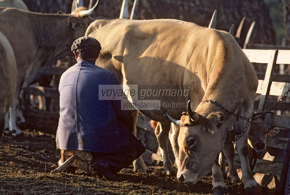 Europe/France/Auvergne/12/Aveyron: Aubrac - Traite des vaches aubrac au buron de canut - Fourme de Laguiole AOC [Non destiné à un usage publicitaire - Not intended for an advertising use] [Non destiné à un usage publicitaire - Not intended for an advertising use]  (Photo d'Archive: 1990)