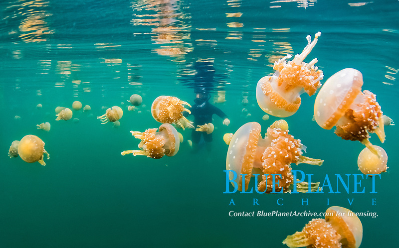 spotted jelly, lagoon jelly, golden medusa, or Papuan jellyfish, Mastigias sp., in jellyfish lake, Misool, Raja Ampat Islands, West Papua, Indonesia, Pacific Ocean