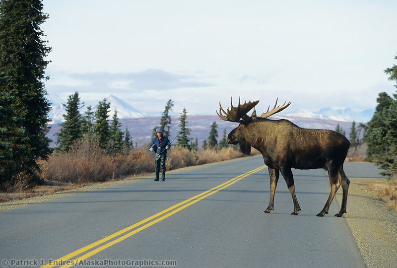 Scientist Vic Vanballenberghe monitors bull Moose, Denali National Park, Alaska