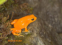 1102-07tt  Mantella aurantiaca - Golden Mantilla - © David Kuhn/Dwight Kuhn Photography