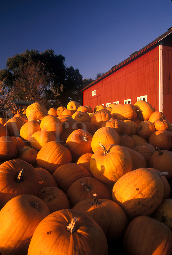 Pumpkin harvest and red barn.