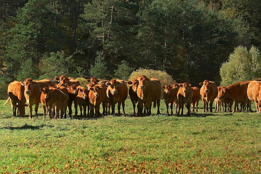 Les bovins de race Limousine sont eleve en plein air, c'est de l'elevage extensif.