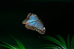 Morpho peleides Butterfly, in flight, high speed photographic technique, gliding showing blue wings, South & Central America, flying .Belize....