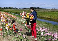 De Pluktuin in Lisse. Mensen kunnen hier tegen betaling zelf tulpen plukken. Moeder en dochter tussen de tulpen