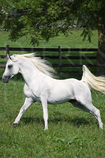 Picture of a white Arabian stallion at liberty running across a green summer pasture.